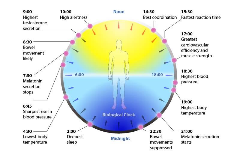 circadian cyrcle