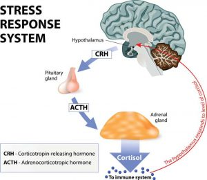 hypothalamic--pituitary-adrenal-axis-Stress-Response-System